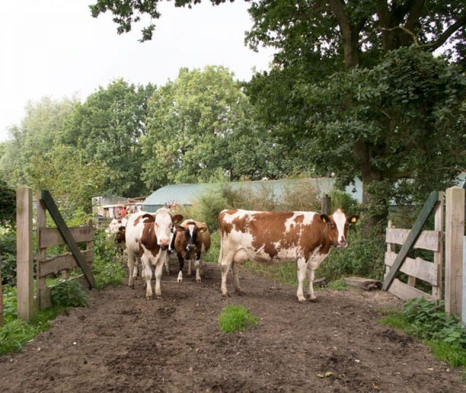 Koeien op het Vicariën erf